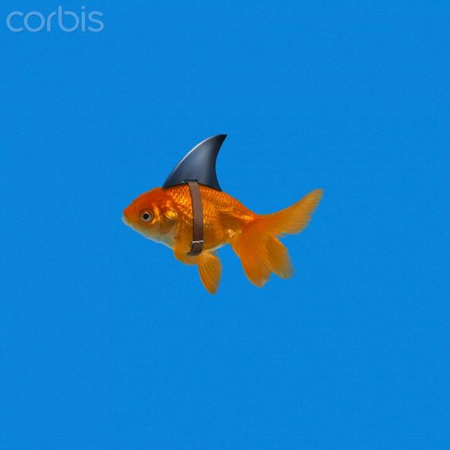 Goldfish wearing shark fin