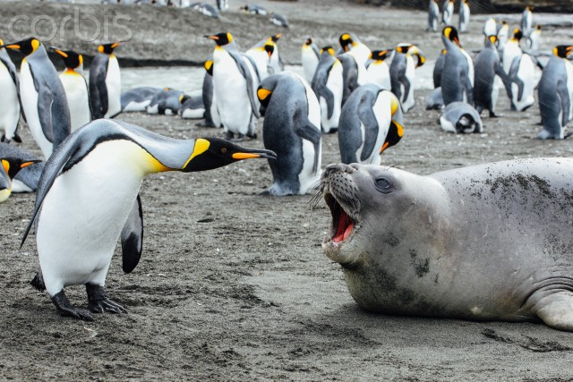 07 Mar 2009, Antarctica --- King penguin argues with seal --- Image by © Michael Kai/Corbis