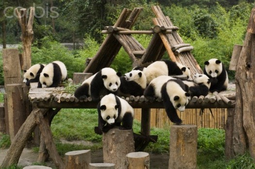Wolong National Nature Reserve, Sichuan Province, China --- Giant Panda (Ailuropoda melanoleuca) group of nine on playground, Wolong Nature Reserve, China --- Image by © Katherine Feng/Minden Pictures/Corbis